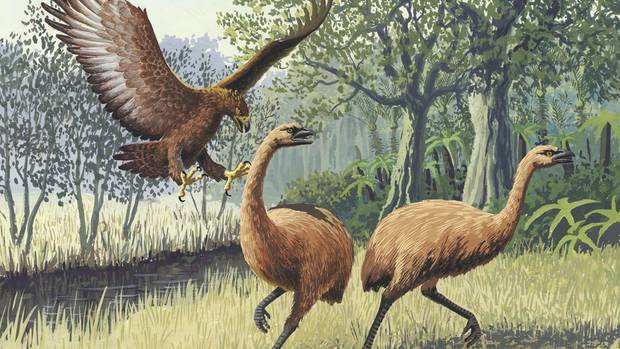 An artist's depiction of a Haast's eagle attacking two moa. Image / John Megahan.
