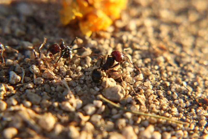 Close up of two ants on sand.