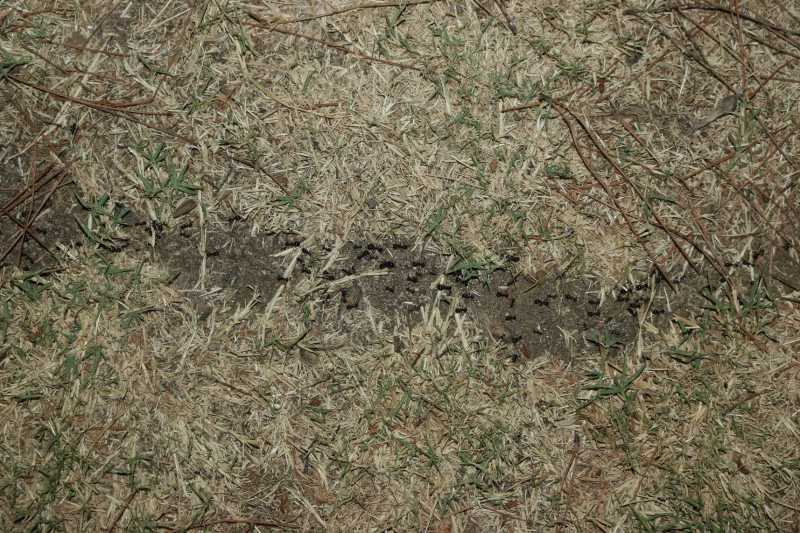 An ant road seen from above. There is no grass where the ants are crawling, but there is grass left and right.