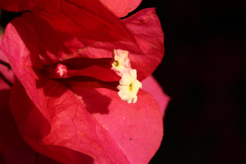 Bougainvillea flower in front of a black background.