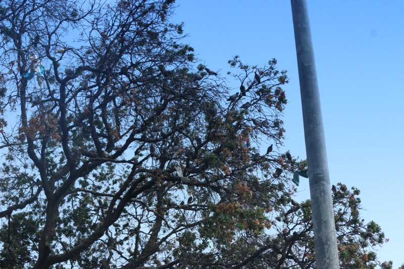 Pigeons in a tree.