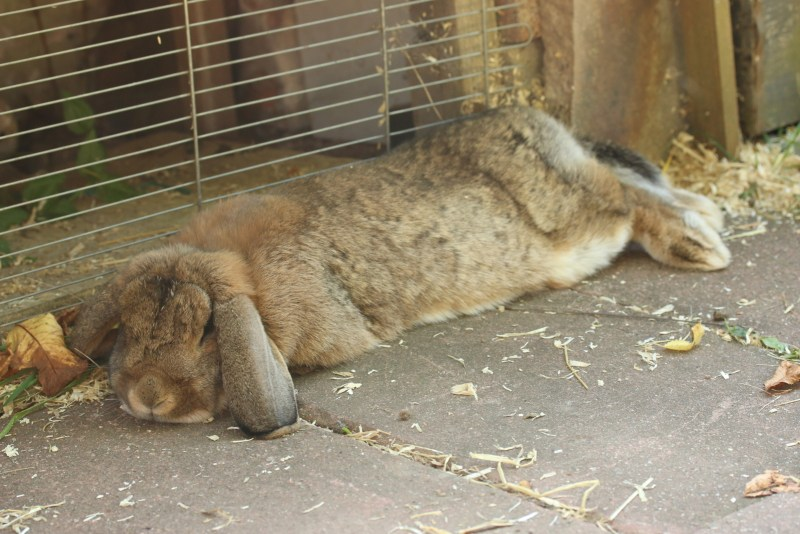Brown rabbit dozing in the shade