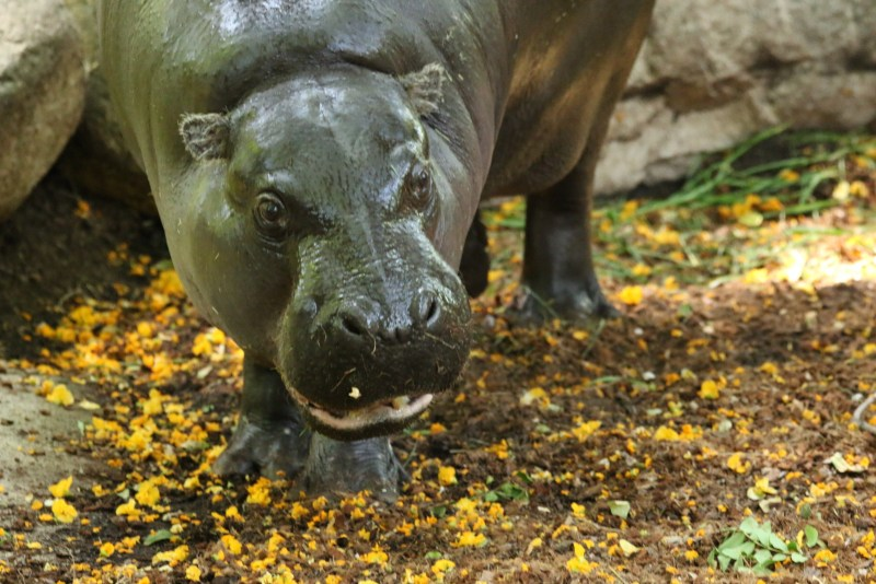 Pygmy hippo with open mouth