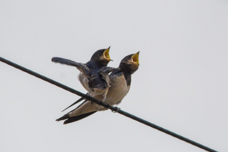 Young barn swallows waiting for food