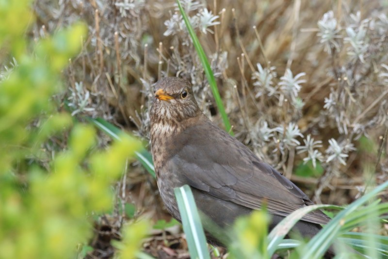 Juvenile blackbird among greens