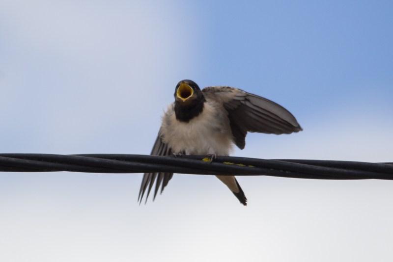 Juvenile Swallows