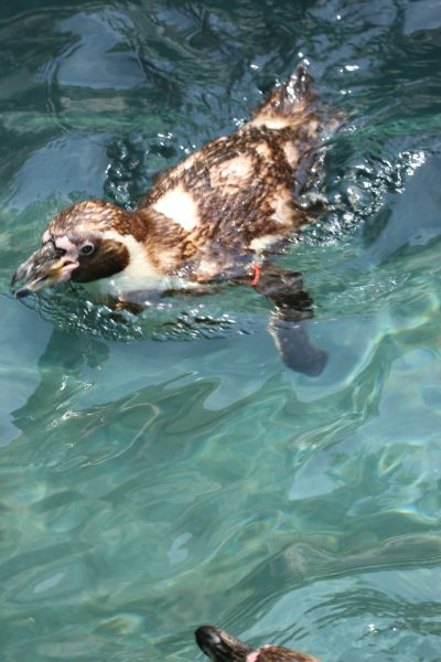 Penguin swimming
