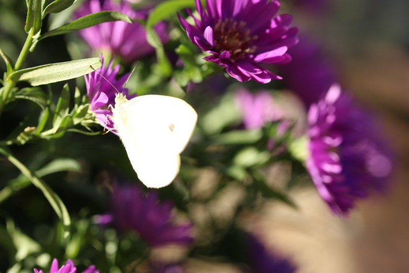 White butterfly on purple flowers