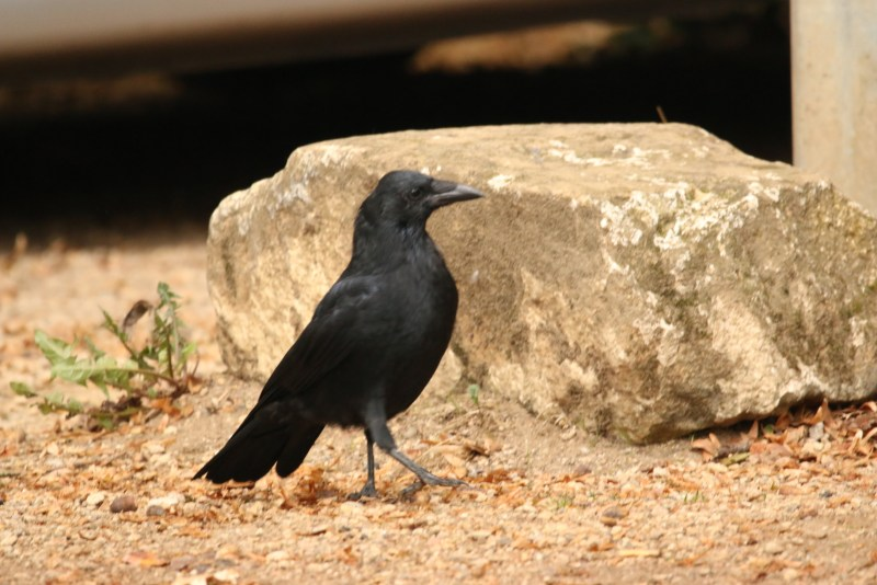 Black crow on sandy ground