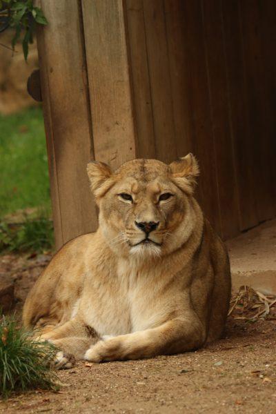 Lioness, lying