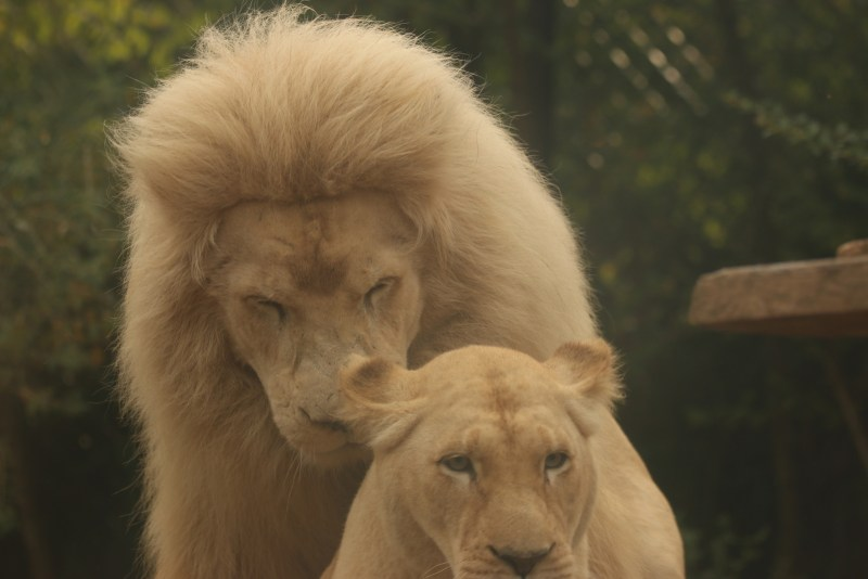 Male lion tryinmg to mount lioness