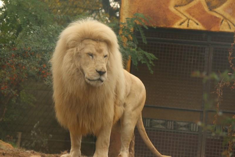 White lion, mal
