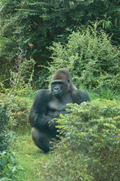 Gorilla, sitting