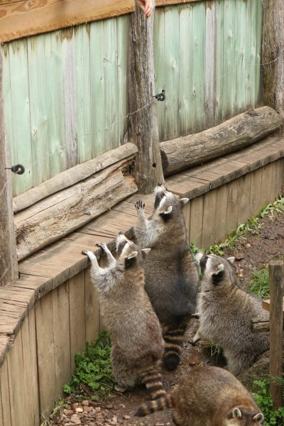Racoons begging for food