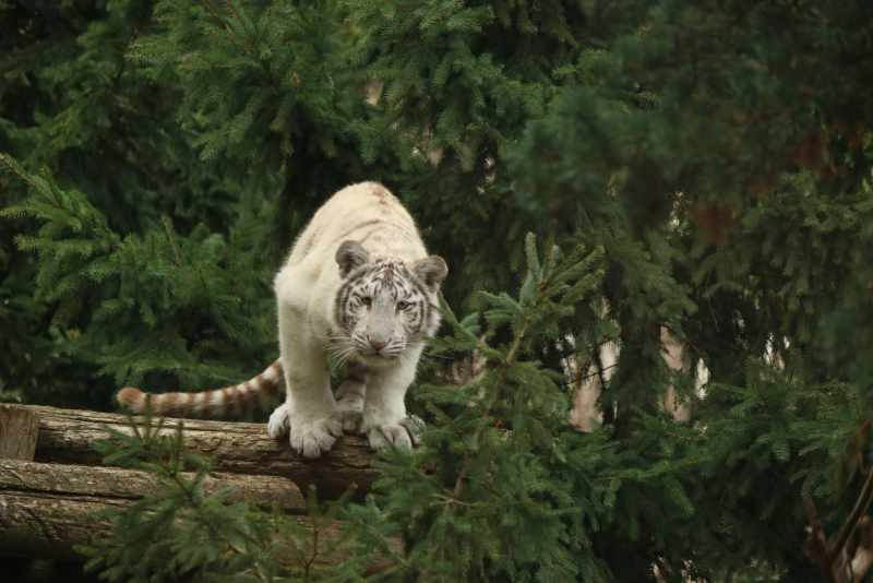 White tiger cub about to jump