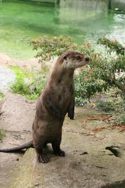 Otter, standing