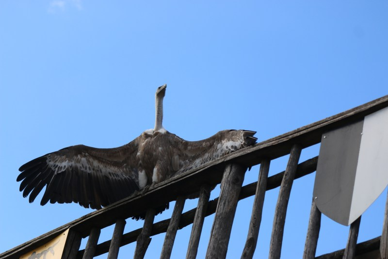 vulture sitting on a railing
