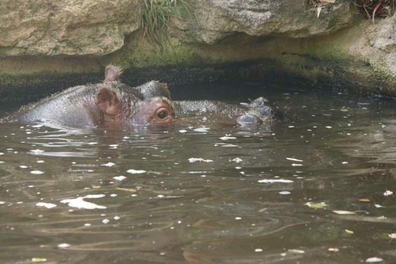 hippo in water