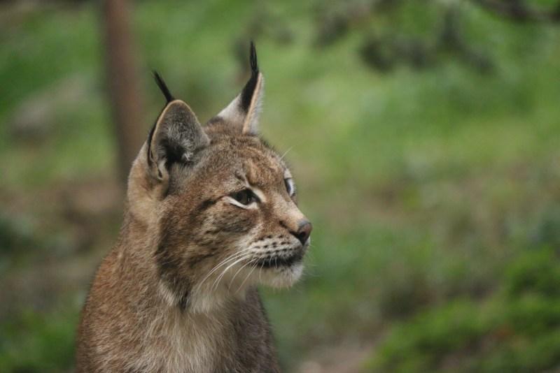 lynx, close up