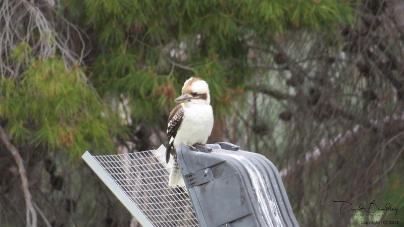 Kookaburra, sitting