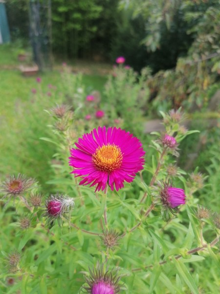 pink/purple aster with lots of buds