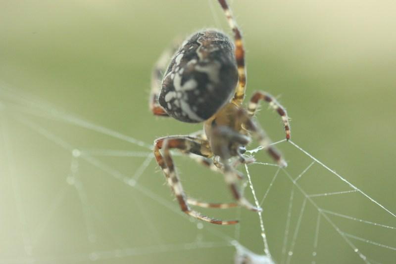 Garden spider or cross spider in its nest.