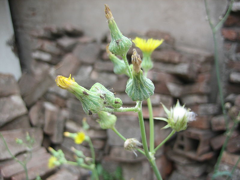 Aphids on dandelion