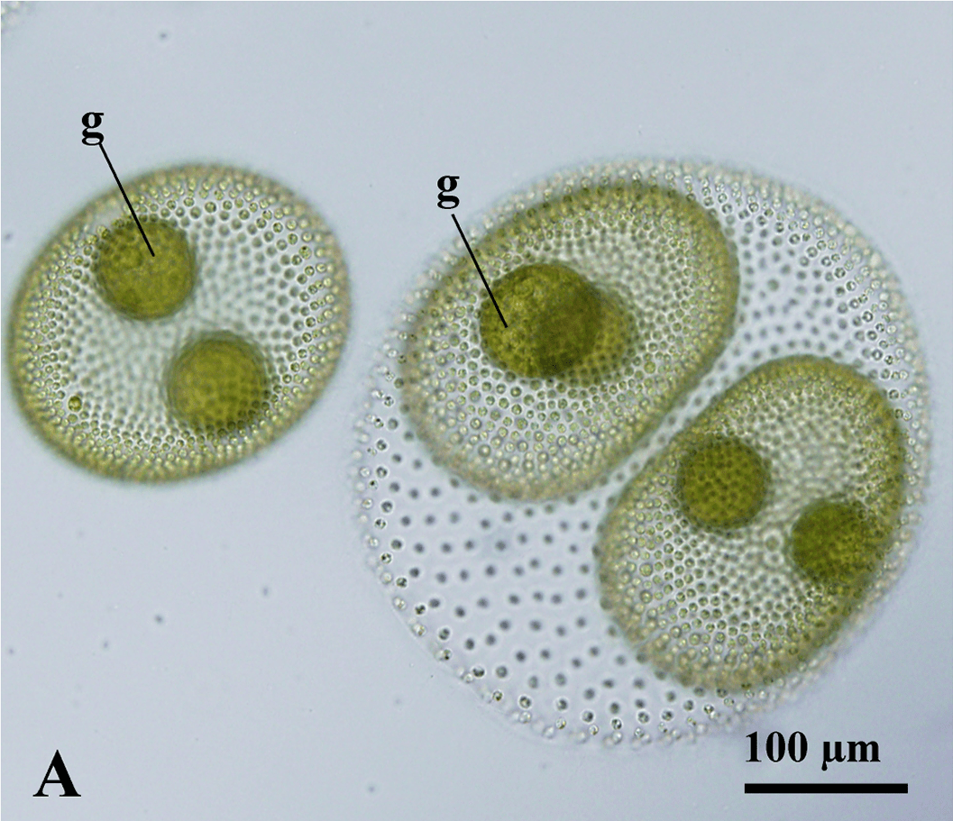 Figure 1A from Nozaki et al. 2015: Surface view of asexual Volvox reticuliferus spheroids.