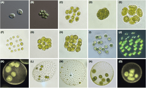 Fig. 1 from Herron 2016. Examples of volvocine species. (A) Chlamydomonas reinhardtii, (B) Gonium pectorale, (C) Astrephomene gubernaculiferum, (D) Pan- dorina morum, (E) Volvulina compacta, (F) Platydorina caudata, (G) Yamagishiella unicocca, (H) Colemanosphaera charkowiensis, (I) Eudorina elegans, (J) Pleodorina starrii, (K) Volvox barberi, (L) Volvox ovalis, (M) Volvox gigas, (N) Volvox aureus, (O) Volvox carteri. Figure Credit for A and B: Deborah Shelton.