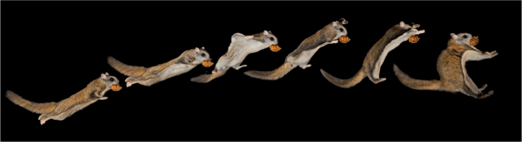 flyingsquirrel3