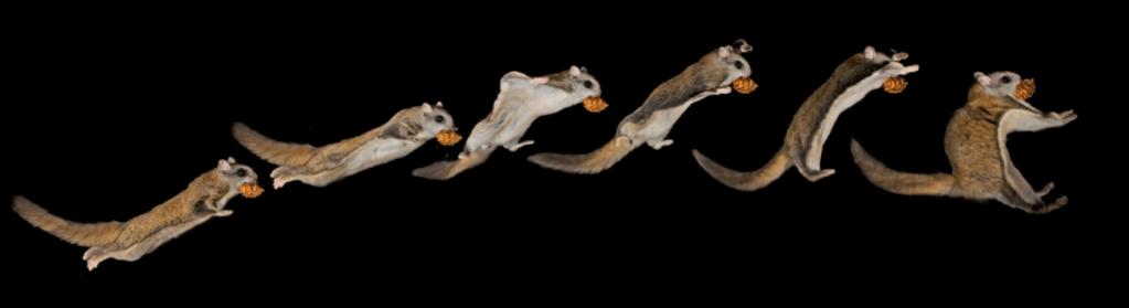 flyingsquirrel3
