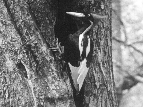Undated still image taken from video and provided by the Cornell Lab of Ornithology shows an ivory-billed woodpecker.