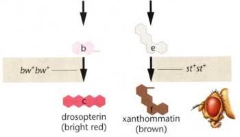 Modular gene networks as agents of evolutionary novelty