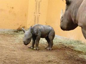 ZooATL_081813_baby_rhino