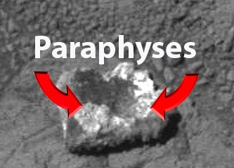 paraphyses