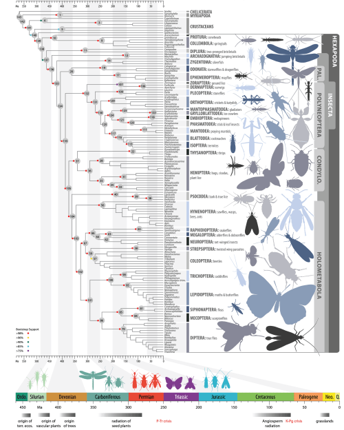 Dated phylogenetic tree of insect relationships. The tree was inferred through a maximum-likelihood analysis of 413,459 amino acid sites divided into 479 metapartitions. Branch lengths were optimized and node ages estimated from 1,050,000 trees sampled from trees separately generated for 105 partitions that included all taxa. All nodes up to orders are labeled with numbers (gray circles). Colored circles indicate bootstrap support (left key). The time line at the bottom of the tree relates the geological origin of insect clades to major geological and biological events. CONDYLO, Condylognatha; PAL, Palaeoptera.