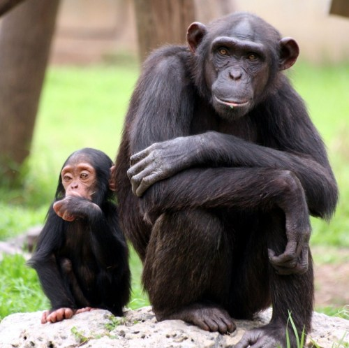 Chimpanzee_Family