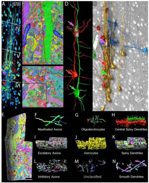 (A) Cortical neuronal somata reconstruction to aid in cortical layer boundaries (dotted lines) based on cell number and size. Large neurons are labeled red; intermediate ones are labeled yellow; and small ones are labeled blue. The site of the saturated segmentation is in layer V (pink arrow). These two layer VI pyramidal cell somata (red and green arrows) give rise to the apical dendrites that form the core of the saturated cylinders. (B) A single section of the manually saturated reconstruction of the high-resolution data. The borders of the cylinders encompassing the ''red'' and ''green'' apical dendrites are outlined in this section as red and green quadrilaterals. This section runs through the center of the ''green'' apical dendrite. (C) A single section of a fully automated saturated reconstruction of the high-resolution data. Higher magnification view (lower left inset) shows 2D merge and split errors. (D) The two pyramidal cells (red and green arrows) whose apical dendrites lie in the centers of the saturated reconstructions. Dendritic spines reconstructed in the high-resolution image stack only.