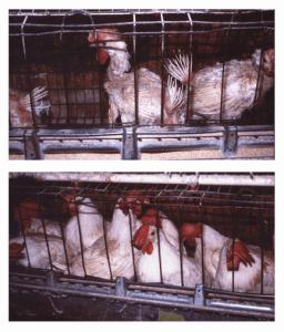 badchickens