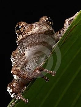 Free Stock Image - Gray Tree Frog Animal