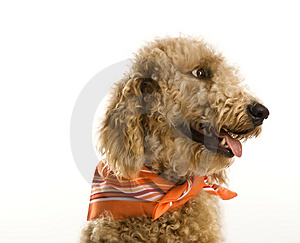 Free Stock Photography - Dog wearing bandana