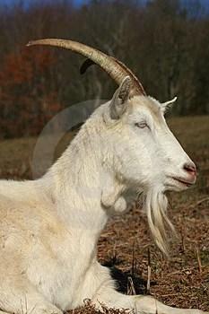 Free Stock Photography - Farm animal