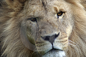 Stock Image - Lion