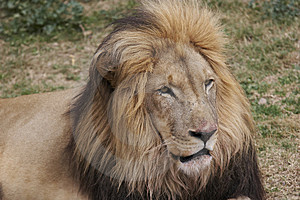 Free Stock Photography - Lion 4