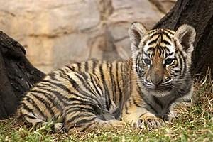 Stock Photos - Little tiger 3