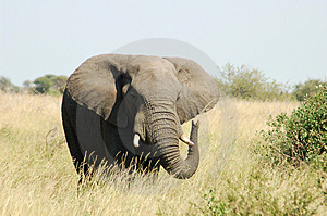 Free Stock Photo - African Elephant