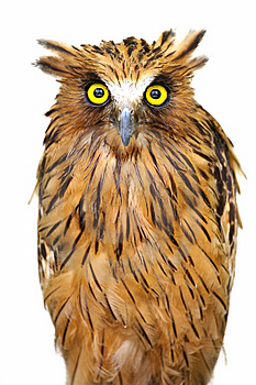 Free Stock Photo - Malaysian Fish Owl