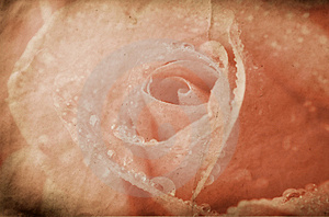 Stock Photo - Vintage rose