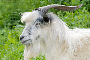 Free Stock Image - Male goat grazing