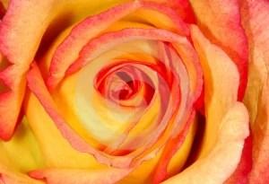 Stock Images - Orange Rose